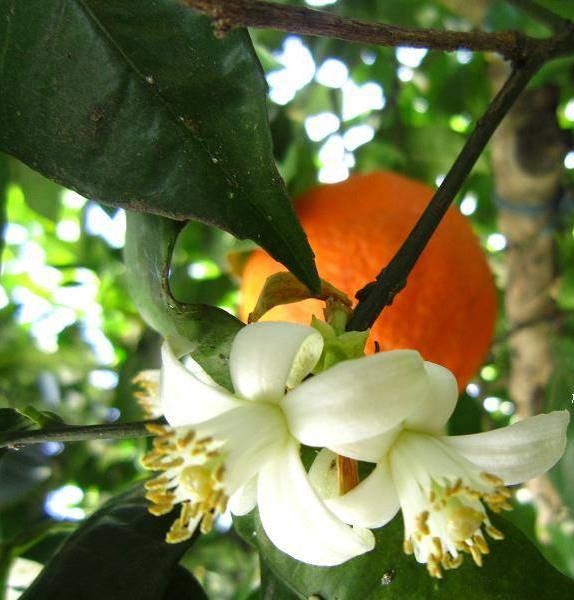 خواص درمانی بهارنارنج