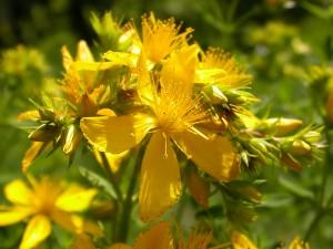 درمان افسردگی با گل راعی