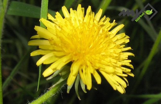 گل قاصدک و کم خونی