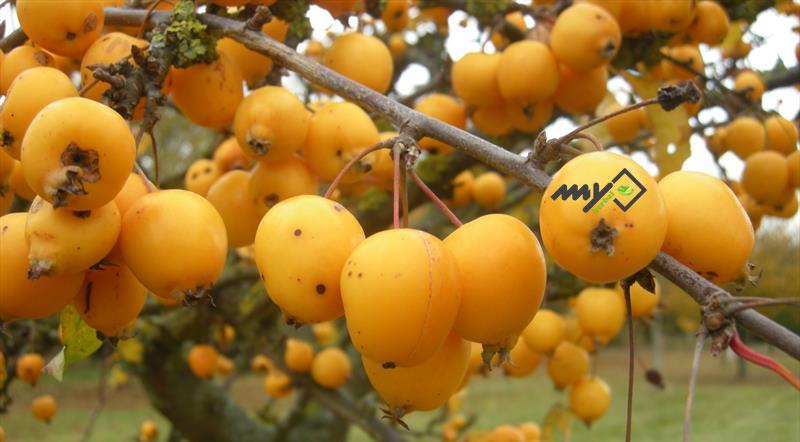 خواص میوه ازگیل